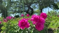 Peony flowers in full bloom swaying in the wind 67208819
