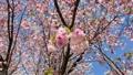 Bees and cherry blossoms Yaezakura swaying in the wind 67208821