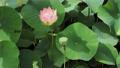 쓰시 하쿠산 도시 후타 마타의 산간부에 피는 연꽃 67362814