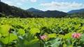 쓰시 하쿠산 도시 후타 마타의 산간부에 피는 연꽃 67362815