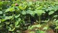 쓰시 하쿠산 도시 후타 마타의 산간부에 피는 연꽃 67362817