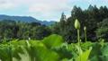 쓰시 하쿠산 도시 후타 마타의 산간부에 피는 연꽃 67362818