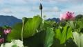 쓰시 하쿠산 도시 후타 마타의 산간부에 피는 연꽃 67362819
