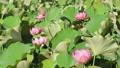 쓰시 하쿠산 도시 후타 마타의 산간부에 피는 연꽃 67362820