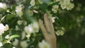 Girl touching her hand on the flowers of jasmine on a tree 67507929