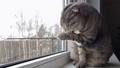 Scottish fold cat with orange eyes sits and looks 67529659