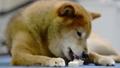 骨型のガムを食べる柴犬 67710227