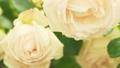 Slow motion along of roses bush. Dolly shot. Soft 67719429