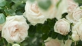 Blooming white roses close up. Dolly Shot in Slow 67765509