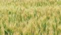Rye field. Ears of wheat swaying in the wind. Soft 67767188