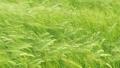 Green wheat field in windy weather. Soft focus 67768242