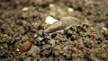 Spanish slug pest Arion vulgaris snail parasitizes pushes out the original attacker and eats it Limax maximus black keel back slug on moving in the garden overpopulation or overgrowth 67783689