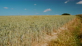 Wide shot of a crop of wheat in Kent Downs Area of Outstanding Natural Beauty, in Southern England, UK 67846241