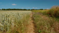 Walking along a crop of wheat in Kent Downs Area of Outstanding Natural Beauty, in Southern England, UK 67846250