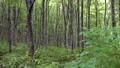 신록의 너도밤 나무 숲 67899550