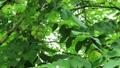 核桃核桃與鍾聲在樹枝上 67986223