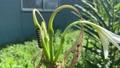 百合の花の茎に静止する毛虫。夏の日本の庭と草木、植物と生き物 68056964