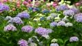 風に揺れる紫陽花の花 68062279