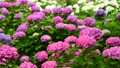 風に揺れる紫陽花の花 68062281