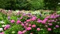 風に揺れる紫陽花の花 68062282