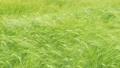 Barley field swaying in windy weather. Rye field 68084685