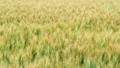 Wheat field in windy weather. Rye field. Soft 68084704