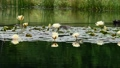 Water lily pond duck 68108057