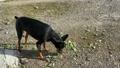 夏の日本の庭をのびのび歩く黒い犬。ミニチュアピンシャー/ペットの日常 68145592