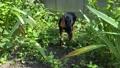夏の日本の庭をのびのび歩く黒い犬。ミニチュアピンシャー/ペットの日常 68145594