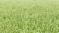 蕎麦畑1 68186002