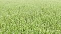 蕎麦畑2 68186006