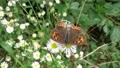 俯瞰撮影の白い花の蜜を吸うベニシジミと思われる茶色とオレンジ色の蝶 68215898