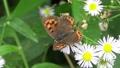 俯瞰撮影の白い花を飛び回って蜜を吸うベニシジミと思われる茶色とオレンジ色の蝶 68215900