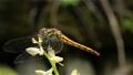 オオバギボウシの花軸に止まる赤とんぼ 福島県只見町 68332802