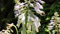 オオバギボウシの花とマルハナバチ 福島県只見町 68332803