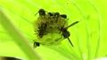 葉裏の巣にアシナガバチがいっぱい 福島県只見町 68332804