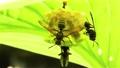 葉裏の巣にアシナガバチが3匹 福島県只見町 68332805