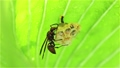 大きな葉の裏でアシナガバチの巣作り 福島県只見町 68332806