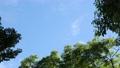 紅葉と楠木と青い空 68373098