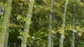 Up of green bamboo forest swaying in the wind 68375388