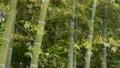 風で揺れる緑の竹林のアップ 68375388