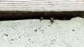 床下の巣から飛び出すミツバチ 福島県只見町 68441108