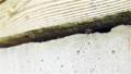 床下の巣から飛び立つミツバチ 福島県只見町 68441111