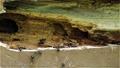 朽ち始めた角材にアリの巣作り 福島県只見町 68441115