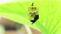 葉裏の巣の補強をするアシナガバチ 福島県只見町 68441119