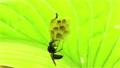葉裏の巣でアシナガバチの子育て 福島県只見町 68441122