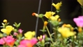 Clip of Pink and Yellow Common Purslane flower 68652528