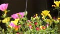 Clip of Pink and Yellow Common Purslane flower 68652529