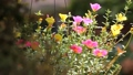 Clip of Pink and Yellow Common Purslane flower 68652531