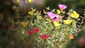 Clip of Pink and Yellow Common Purslane flower 68652532